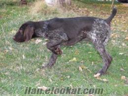 satılık av köpekleri