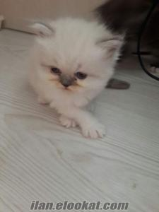 izmir beyaz yavru dişi erkek iran chinchilla himalayan kedi persian doğumlu