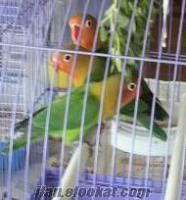 izmir sevda papağan yavruları satılık