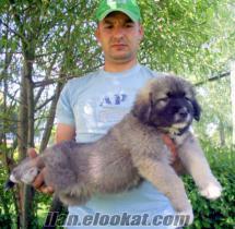 kafkas çoban yavruları satılık