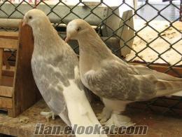 satılık toptan damızlık güvercinler