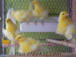 satılık nort hollandes kanaryalar