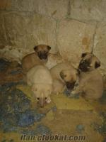 satılık kangal yavruları