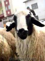 satılık damızlık saf kangal koyunu