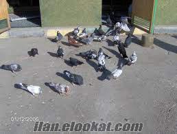 satılık toptan dolapçı güvercinler.