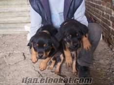 karacadog köpekçilikten satılık ırk köpek
