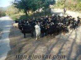 Çaycumada kara keçi