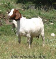 satılık keçi ve oğlak ve koyun koç