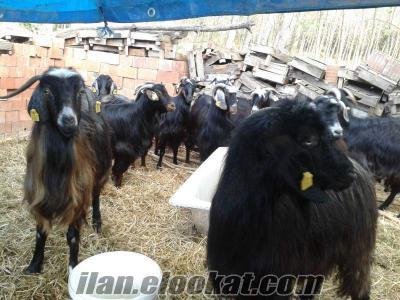 Kurbanlık Kısır Kıl keçileri Satılık Tokat