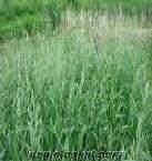 Kılçıksız brom, gazal boynuzu, bromus inermis, Lotus corniculatus
