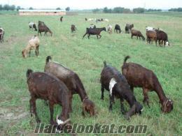 kilis keçisi, kilis keçisi yetiştiriciliği, kilis keçi fiyatı