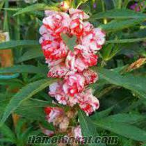 satılık kına çiçeği tohumu