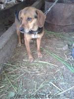 sahibinden satılık av köpeği