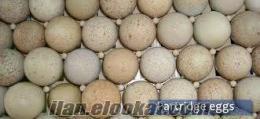 Döllü Kınalı ne Beyaz Keklik Yumurtası