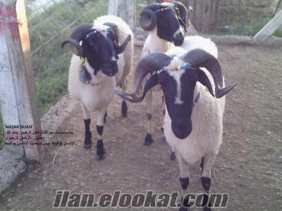 Safkan Gebe Sakız Koyunlar ve Sakız Koçlarım Acil Satılıktır ...