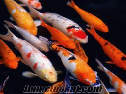 koi balığı anaçları üretim için