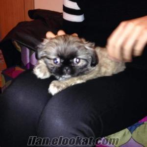 istanbulda sahibinden satılık 2 aylık pekinez yavrusu