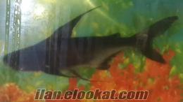 Köpek balığı satılık