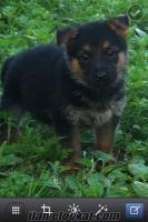 5 aylık alman kurdu mükemmel köpek satılık