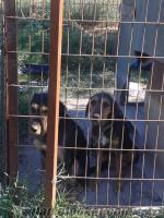 istanbul silivride satılık köpek