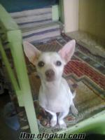 Chıhuahua ( şivava ) dişi köpek