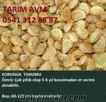 Korunga tohumu, korunga tohumu satışı, korunga tohumu fiyatları, korunga tohum
