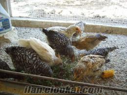 eskişehirde satılık%100 döllü tavuk yumurtası tokat tavuğu