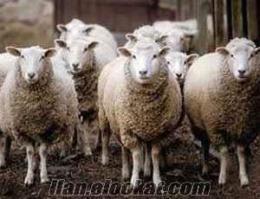 Tekirdağda Satılık Koyun (Damızlık)