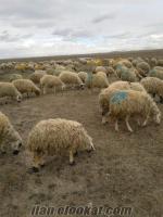 Satılık ACİL Kuzulu Koyun.Süreden Seçilecek
