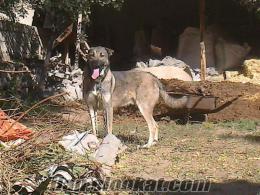 Satılık kangal köpeği