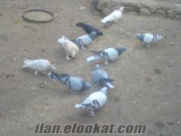 satılık güvercinler konya