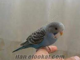 Muhabbet Kuşu Eğitimi - Hırçın kuşunuzu eğitelim