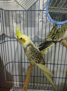 Sultan papağan+kafes+ahşap folluk+aksesuarlar