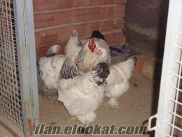 Satılık dev brahma yumurtası