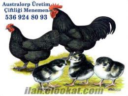 Australorp üretim çiftliği menemenden civciv yumurta ve tavuk satışı