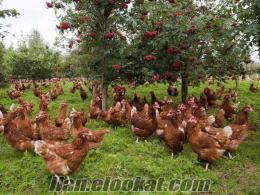 çiftlikten satılık tavuk 4 aylık yarka köy tavuğu