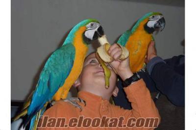 Yeni evler için mavi ve altın Amerika papağanı papağan çifti