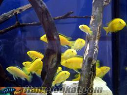 Tüm Ciklet Balıkları Sarı Prenses ve Diğerleri Satılır