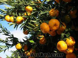 gürede satılık kelepir zeytinlik bahçe, arsa. cennet