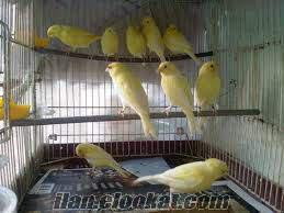 satılık manilu kanarya