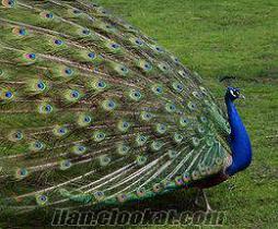 satılık mavi renkte tavus kuşu nevşehir göreme