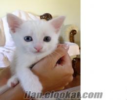 mavi-yeşil gözlü safkan yavru van kedisi