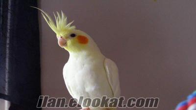 sultan papaganı 175 tl