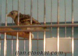 muhabbet kuşu toplu ve perakende satışı