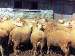 Sahibinden Satılık koyun Kapı malı