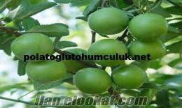 Meyve Fidanı, Meyve Fidanı Satışı, Meyve Fidanı Çeşitleri, Meyve Fidanı Fiyatlar