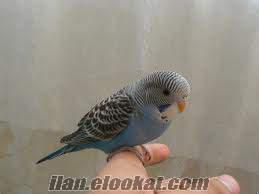 Samandağda kuşçu barış