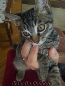 YUVALANDI**1.5 aylık mini mini yakışıklı bir tekir oğlan KEKİK