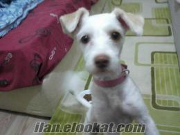 Ankara Esertepede kız terrier