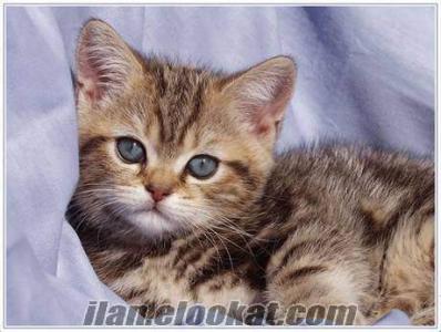 yavru kedi Acil Yuva